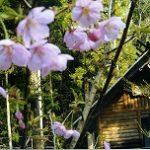 桜 出会い