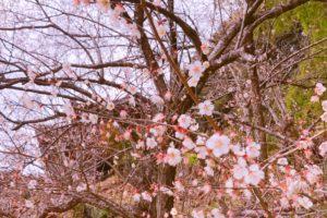 ランプの宿の桜の写真